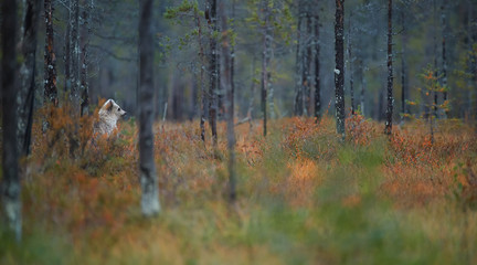 Alone Brown Bear cub, Ursus arctos, almost white, standing in red autumn grass, carefully monitors surroundings in colorful, autumn taiga forest. Taiga landscape with brown bear, Russia.