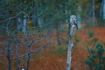 Boreal owl, Aegolius funereus, small, nocturnal owl, known as Tengmalm's owl, sitting on a small pine in a colorful, early autumn taiga environment against rays of rising sun. Europe.