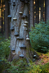 The boreal owl, Aegolius funereus, small, nocturnal owl, sitting next to nesting hole on polypore fungus on the old beech tree in the mountains forest. Protected owl in  early morning forest. Europe.