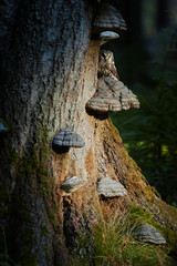 Close up, Boreal owl, Aegolius funereus, small, nocturnal owl, sitting next to nesting hole on polypore fungus on the old beech tree in the mountains forest. Beautifully lighted owl in morning forest.