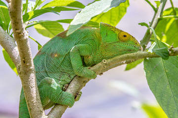Female green Chameleon in Madagascar, green chameleons animal wildlife, wild animals in Madagascar. Holiday travel tour in Andasibe, Isalo, Masoala, Marojejy National parks. Chameleons.