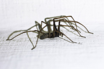 Tegenaria domestica. Barn funnel weaver, common domestic house spider
