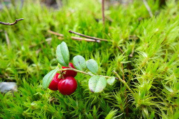 red lingonberry with leaves