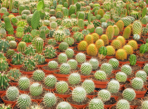Various Species of Cactus  as Grown in a Commercial Nursery