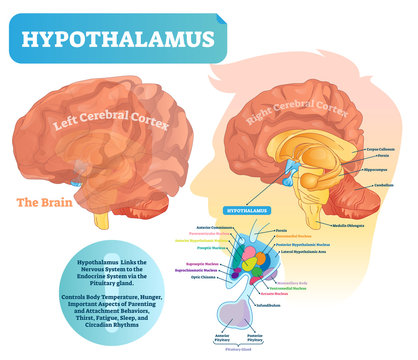 Hypothalamus vector illustration. Labeled diagram with brain part structure