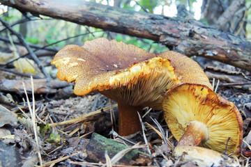 mushrooms of amanita