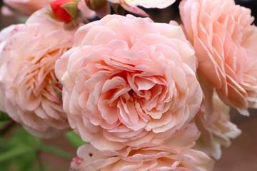 English rose variety