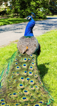 Peacock male walking over the garden during sunny spring day.