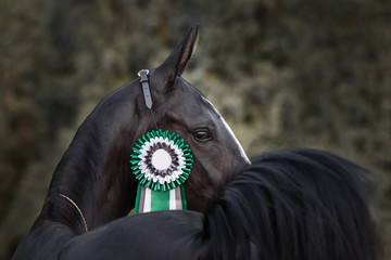 Portrait of a black horse winner in the competition with a beautiful rosette on the bridle, look back view on dark background