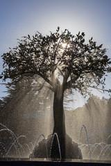 Силуэт дерева в фонтане против солнца.Струи воды.Вертикально.
