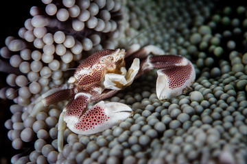 Porcelain Anemone Crab Among Anemone Tentacles