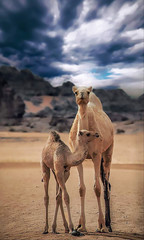 tow camels in desert