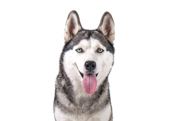 Portrait of young beautiful funny husky dog sitting with its tongue out on white isolated background. Smiling face of domestic pure bred dog with pointy ears. Close up, copy space.