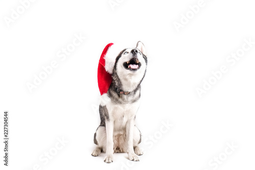 be115073a04 Christmas dog concept. Portrait of young beautiful funny husky sitting with  tongue out wearing santa hat
