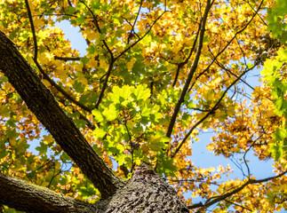 bunter Ahornbaum im Herbst