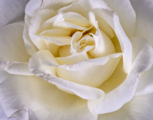 Fine art still life soft color flower macro photo of a the inner of a wide open white yellow rose blossom with detailed texture