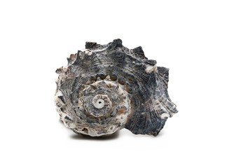 Decorative sea shell isolated on white background