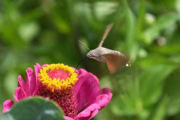 Butterfly collecting nectar on flowers. Hummingbird Hawk Moth (Macroglossum stellatarum) flying over flowers in garden
