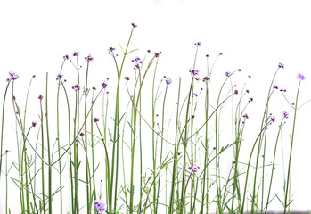 Purple flowers on thin stems. Nature. Isolated.