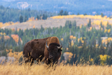 Papiers peints Buffalo American Bison bull in Autumn