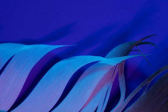 Bird feather in violet illumination