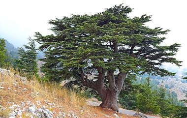 Lebanon Cedar in foggy landscape