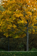 Autumn yellow-red maple on a background of green willow.