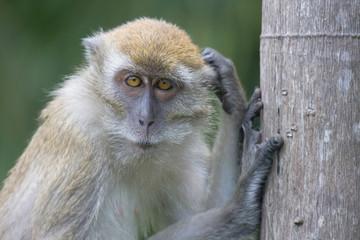 Thoughtful monkey, Malaysia.