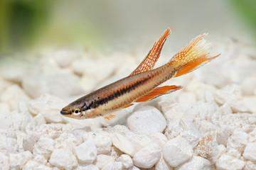 Lagos Red Killifish aquarium fish Killi Aphyosemion bitaeniatum