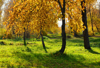tree with yellow leaves, illuminated by the sun