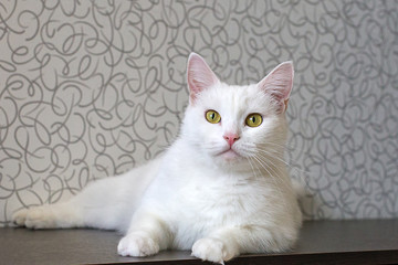 white fluffy cat with yellow eyes