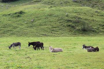 Esel auf einer Weide