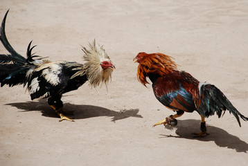 Real de Catorce - cock fight