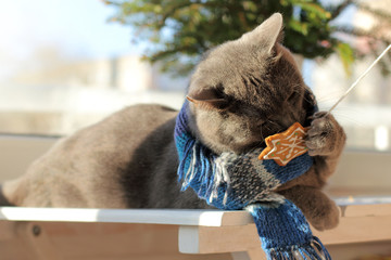 holiday taste/ homemade cat in a scarf playing with ginger cookies on the background of the Christmas tree