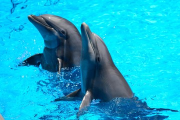 Two dolphins performing in a dolphin show