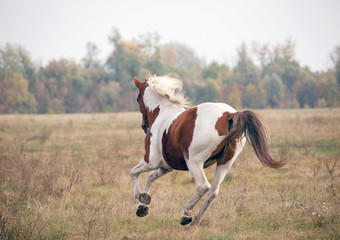 The beautiful skewbald horse gallops on an autumn meadow