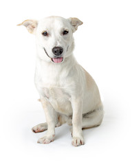 Cute Happy Smiling White Big Dog