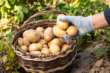 Harvesting New Potatoes. Hand Of Woman Pick Fresh Yellow Potatoes On Wicker Basket In Vegetable Garden Close Up.