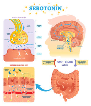 Serotonin vector illustration. Labeled diagram with gut brain axis and CNS.
