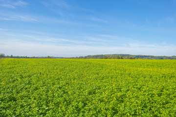 Vegetables growing in a field below a blue sky in sunlight at fall