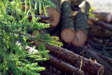 Lumber of coniferous trees in the forest