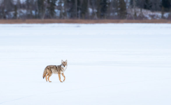 Coyotes in winter