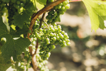 Sunny agriculture./ Grapes on vine in vineyard, south Poland