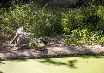 Algae covered American Alligator Alligator mississippiensis