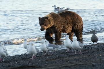 Brown bear walking along coast;  Lake Clark NP;  Alaska