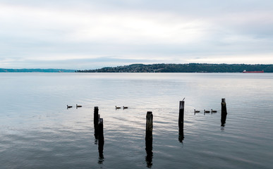 Canada Geese swimming in an inlet bay harbor