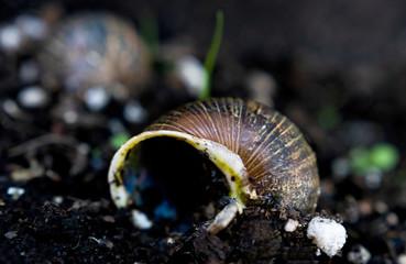 Empty snail shells on dirt in a garden after recent rain