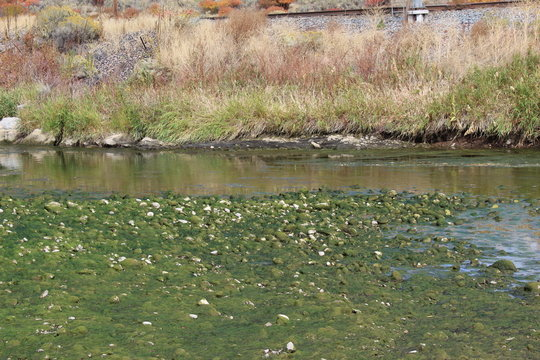 Weber river in Utah ,  the algae has bloomed and left the stones all green with a layer of slime and vegetation on them, its green and shiny.
