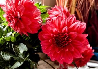 Poster Dahlia red Dahlia flower