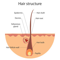 The structure of the hair, growing hair. Flat design, vector illustration, vector.
